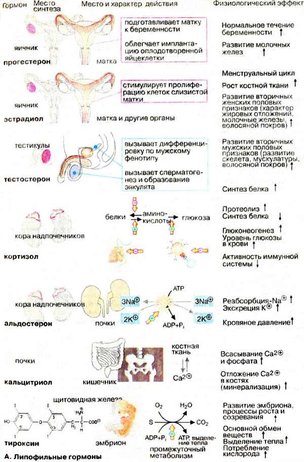 gormonalnaya-terapiya-vosstanavlivayushaya-spermatogenez